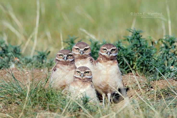 Burrowing owl owlets at a nest site near Abbey, Saskatchewan. John E Marriott Canadian Wildlife and Nature Photography