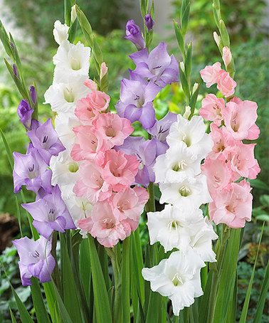 Pastel Blend Gladiolus Bulb - Set of 25