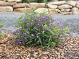 Meema™ - Great as a feature plant for gardens and landscapes