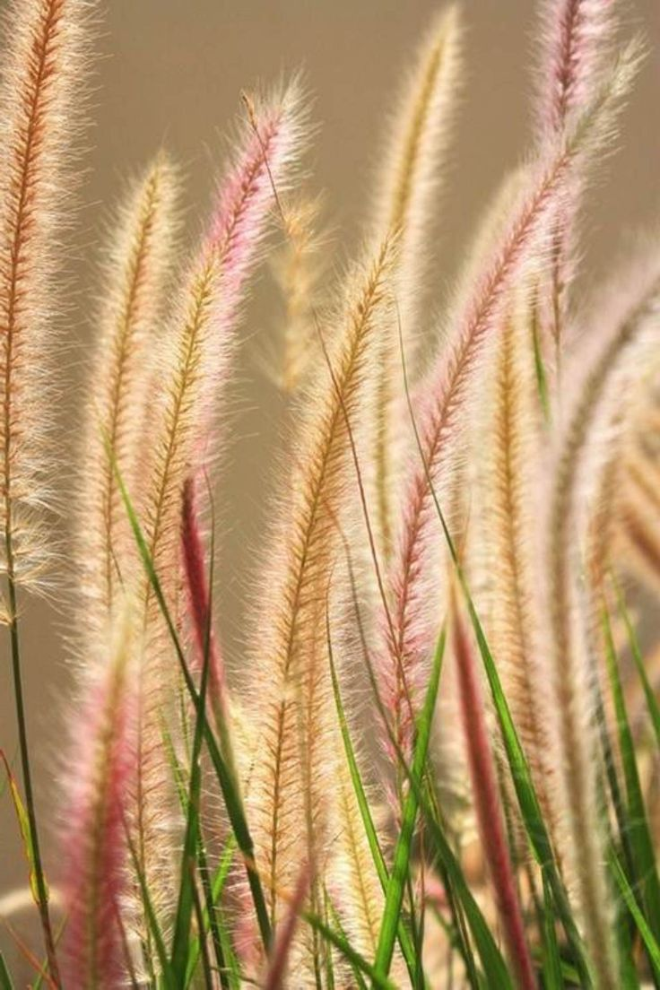 Cotton candy ornamental grass - Ornamental Grass Stipa Tenuissima
