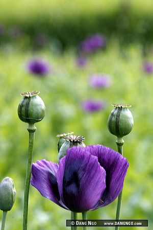Xieng Khuang province, Laos - Opium poppy flowers and seed pods dot a hillside. The seed pods are slit with tiny multi-bladed knives, releasing a white sap that is left on the pod overnight while it coagulates. The following morning, it is scrapped off as | Flickr - Photo Sharing!