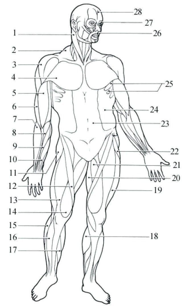 44+ Muscular system labeling worksheet Information