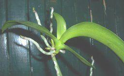 Multiplication et division des orchidées