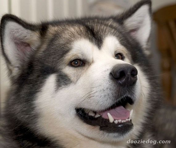 Alaskan Husky Dogs Alaskan Malamute Schau Dir Dieses Gesicht An Alaskan M Best Alaskan Malamute Alaskan Husky Schlittenhunde