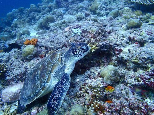 A Yahoo travel editor found this turtle while diving n the Maldives. (Photo: Jo Piazza) http://yhoo.it/1Dw9iYp