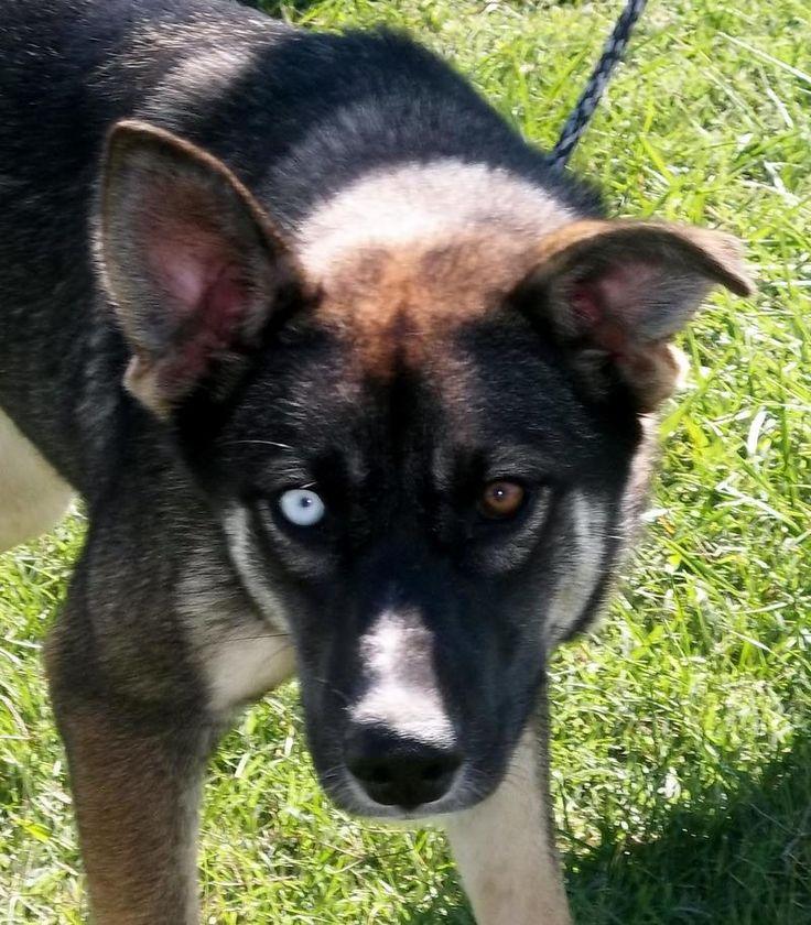 Adopt maycee on big dogs husky mix dogs