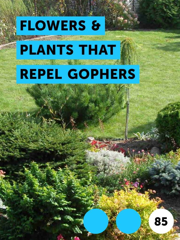Learn Flowers Plants That Repel Gophers How To Guides Tips And Tricks Bermuda Grass Watermelon Vines Miracle Grow