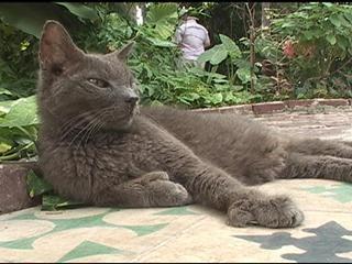 """Hemingway Cats"" cats with thumbs!: Hemingway Catspolydactyl, Polydactyl Cat, Pet, Hemingway Cat Polydactyl, Keys West, Cat Cat, Furry Friends Animal, Thumb, Cats Kittens"
