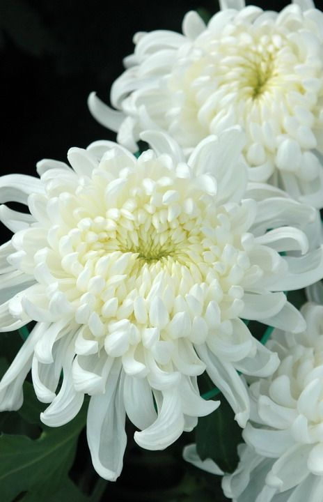 White chrysanthemum - national symbol of Japan; symbolic of truth and grief (to the west, death and grief).