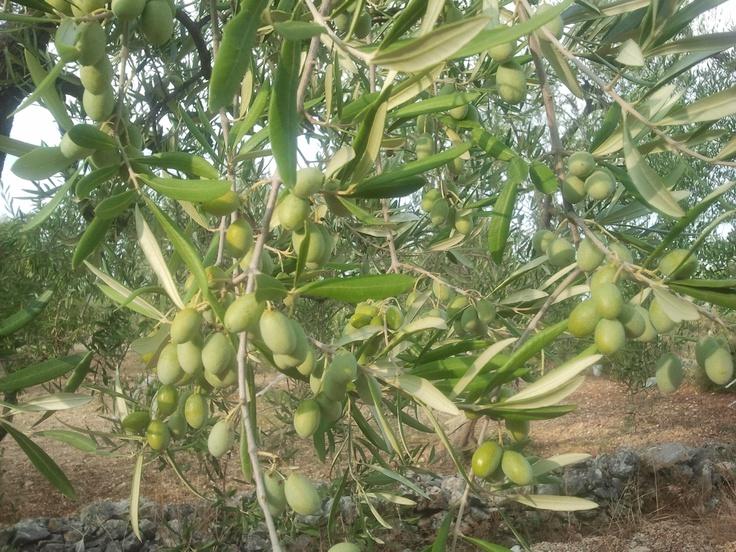 Coratine olive - Mastroserio Farm, S.P. 184 KM 0, Cassano delle Murge (BA) ITALY
