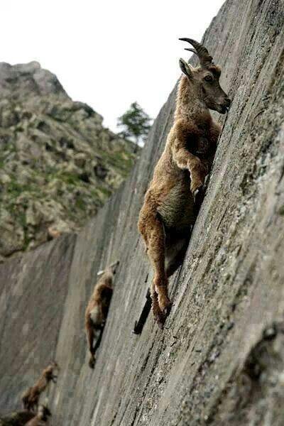 Wall-climing mountain goats
