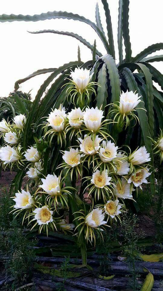 epiphylum. orchid cactus.                                                                                                                                                                                 More