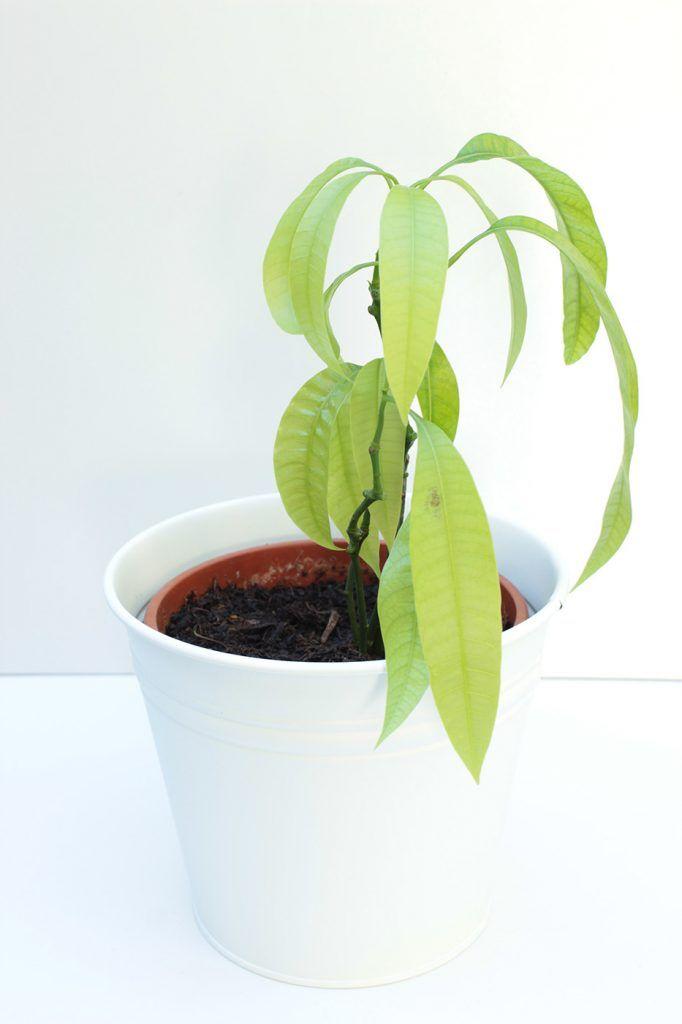 die besten 25 mango pflanzen ideen auf pinterest mango selber ziehen kr uter pflanzen und. Black Bedroom Furniture Sets. Home Design Ideas