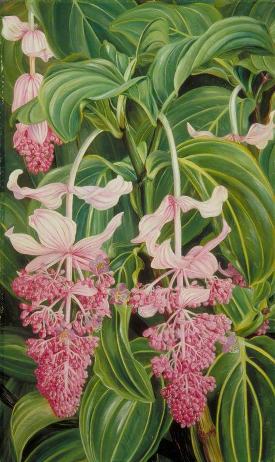 Marianne North - Foliage and Flowers of Medinilla Magnifica (Royal Botanic Gardens , Kew)