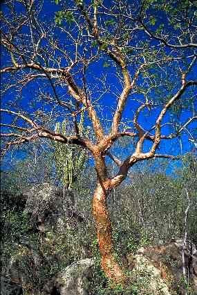 39 best images about Boswellia-Bursera-Commiphora on Pinterest
