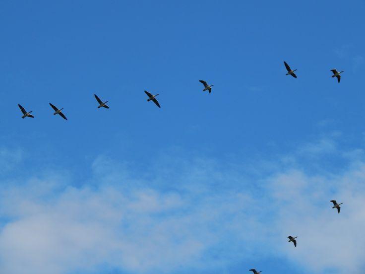 Oh geese, Pedersöre 2014