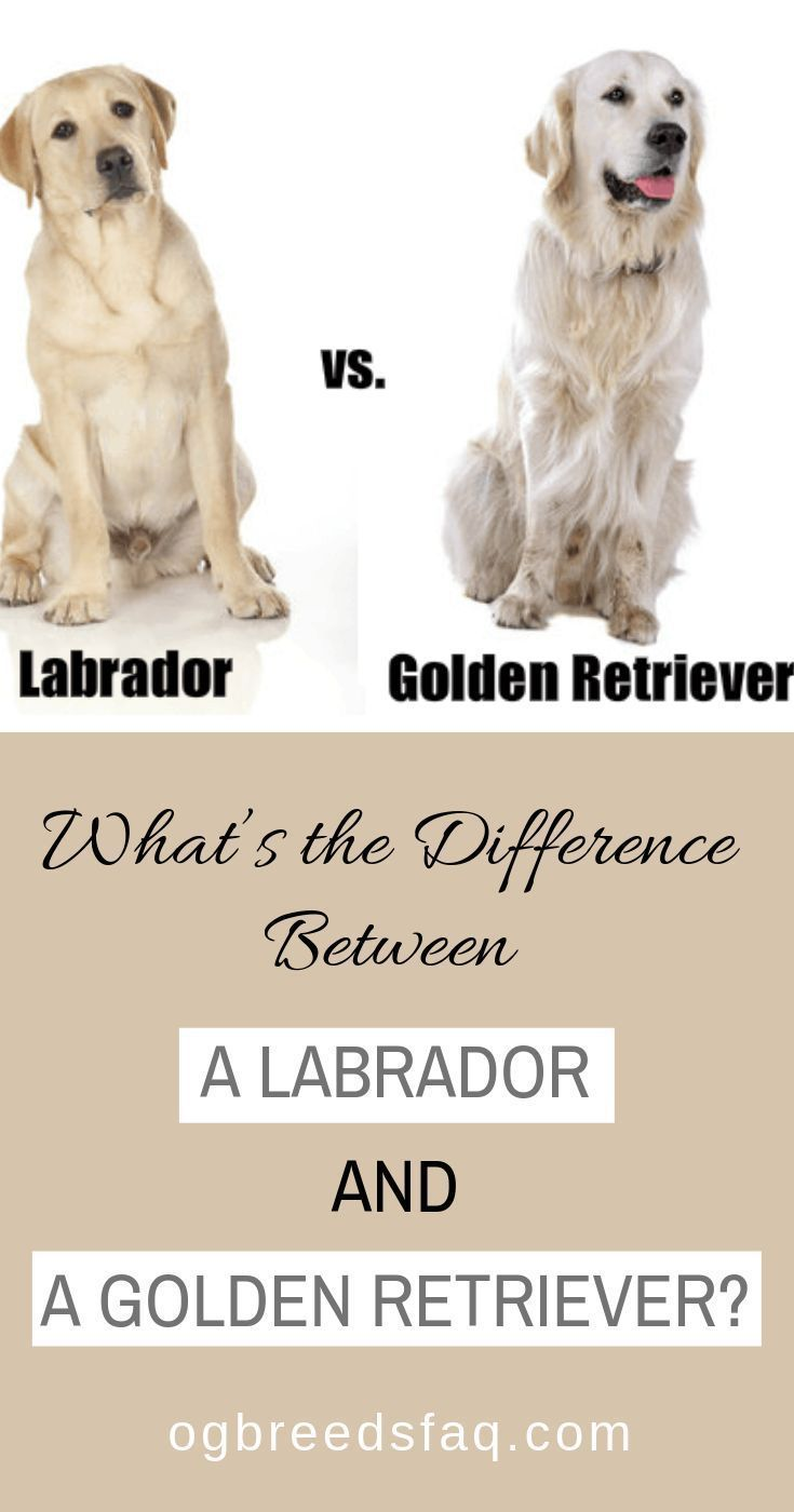 What S The Difference Between A Labrador And A Golden Retriever