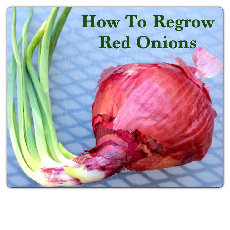 How to regrow sprouted red onions using the onion sets inside of it. Also includes a link to a post on how regrow celery, garlic, and green onions.