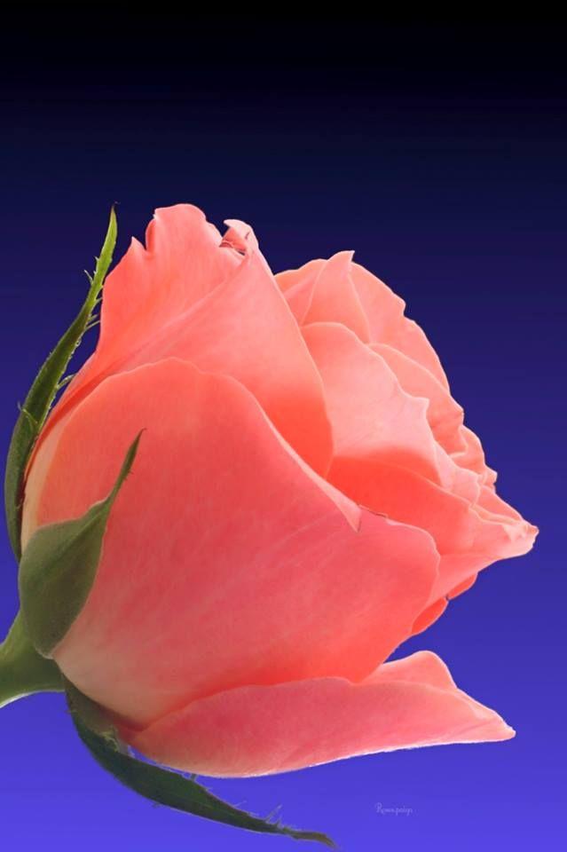 Single But Simply Fantastic Beautiful Rose Flowers Beautiful Flowers Beautiful Roses Fantastic rose flower wallpaper
