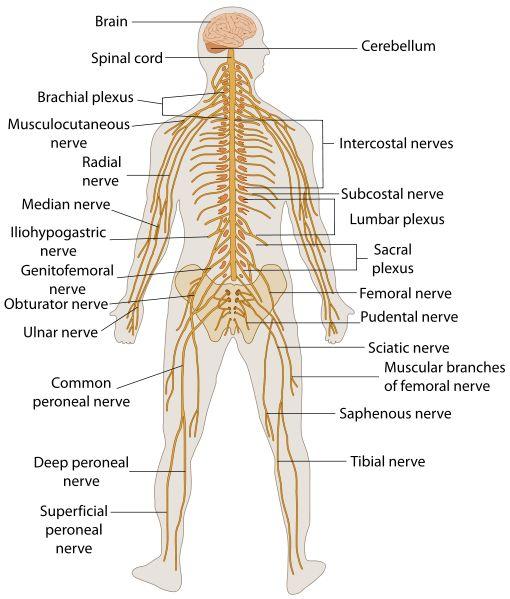 17 Best images about Nervous System Diagram for Kids on Pinterest ...