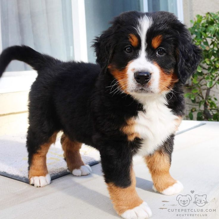 "From @khalee_the_berner: ""Hi my name is Khalee I'm a Bernese Mountain Dog in this photo I am 7 weeks old but I'm currently 11 weeks old! My favorite hobbies include cuddling with mom eating lots of peanut butter and playing with my friends "" #cutepetclub by: @cutepetclub"
