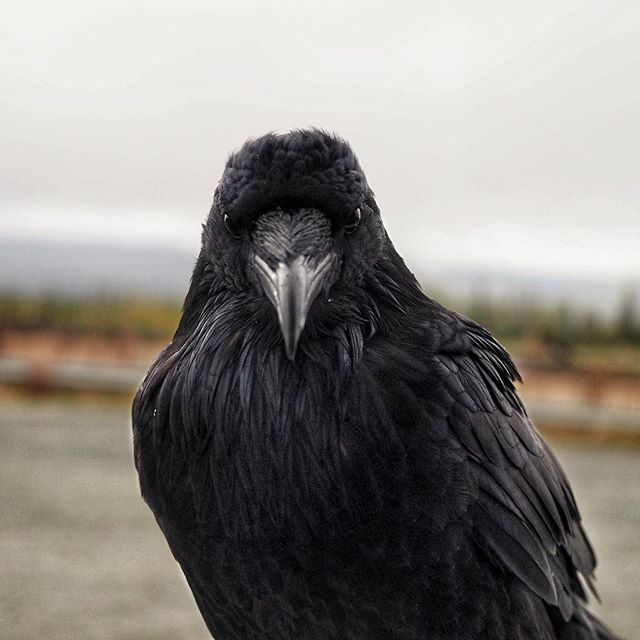 The Alaskan welcoming party...I didn't think he was ever going to get off my truck...pretty cool #raven #sometimesiwander #brysoncityoutdoors #lifeoutside #roadtrip