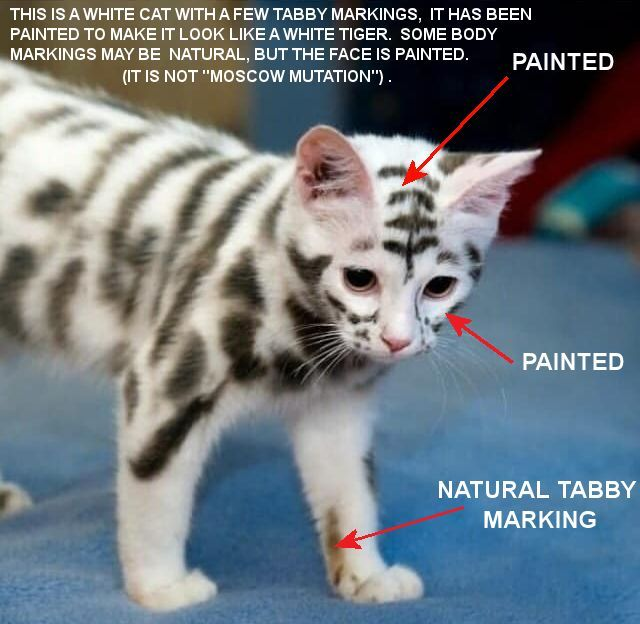 Pin By Sarah Hartwell On Cat Colours And Conformation Guides Cat Colors White Cat Tabby
