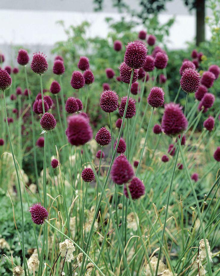 round-headed leek - Allium sphaerocephalon