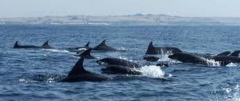 Colonia austral de delfines ! En isla damas chile  punta de choros visita www.lascubasdecydonia.cl