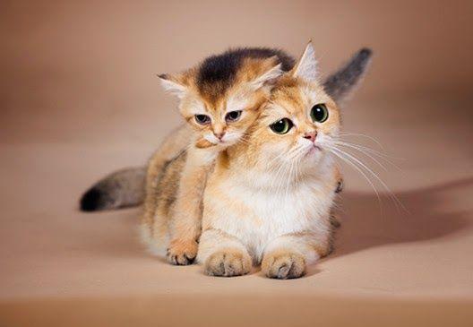 Kot rasowy to kot z rodowodem!