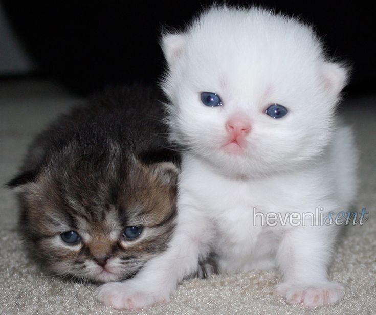 baby himalayan kittens for sale | Tabby & White Teacup Persian Kittens together