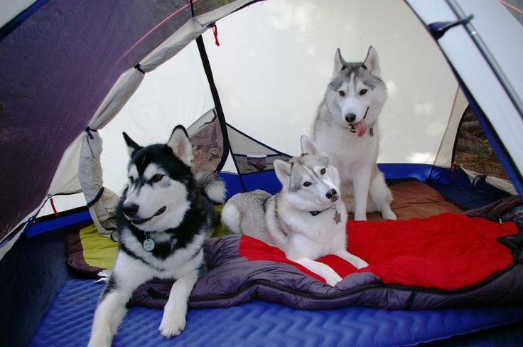 Camping with Siberian Huskies