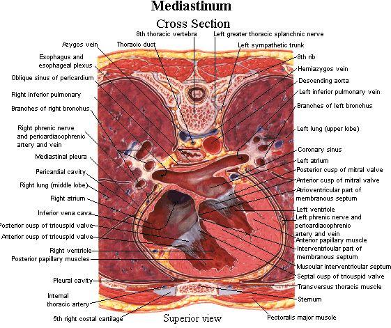 Mediastinum     labeled    cross section   Anatomy   Physiology