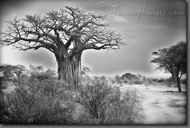 I want this as a tattoo so bad!  Google Image Result for http://tommyimages.com/Stock_Photos/Africa/Tanzania/Tarangire/slides/Tanzania_2485-Baobab_Tree.jpg