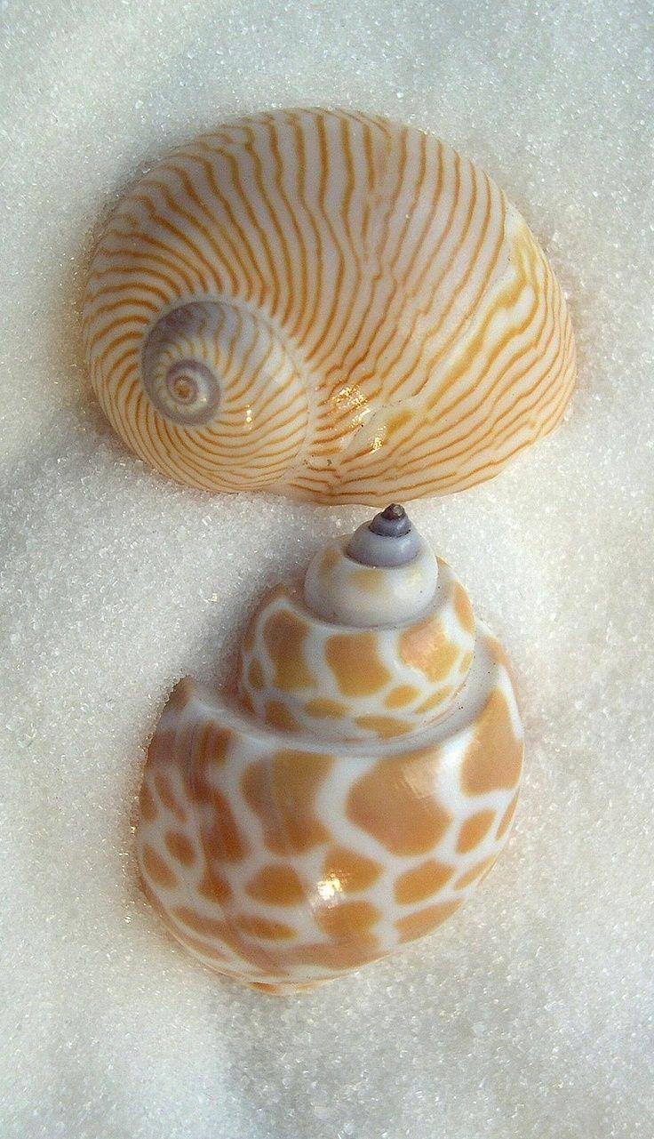 Pearl-Nautilus : Photo