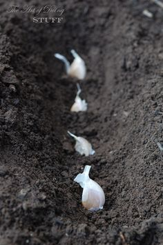 How to plant garlic. Should be planted in the fall. Gotta remember this one.
