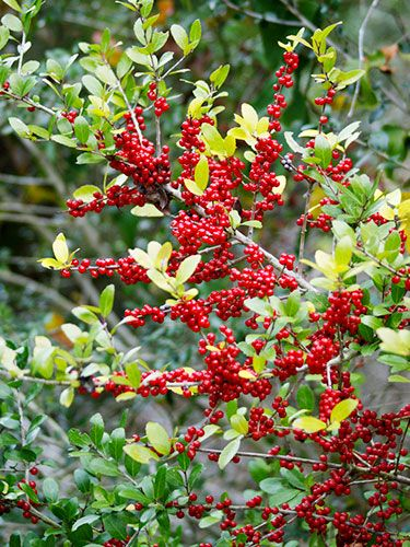 """Shrubs: Yaupon Holly  Shrubs: Yaupon Holly  Genus: Ilex vomitoria  Zones: 7 to 10  Cost: $12 to $30  Expert says: """"This drought-tolerant Texas native can grow to 15 feet or taller. In winter, its attractive red berries feed birds."""" —John Dromgoole"""