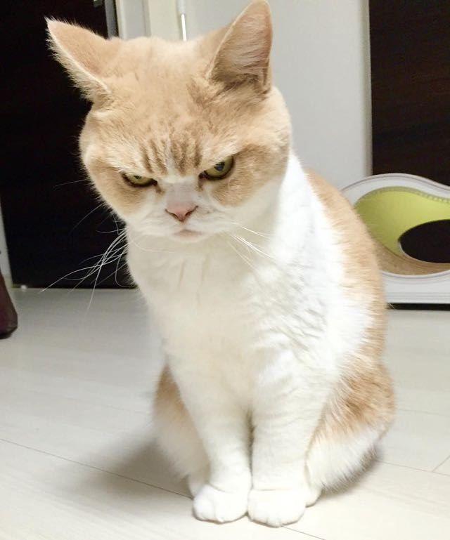 Kucing pemarah ini bernama Koyuki yang berarti salju yang bercahaya. Koyuki adalah jenis kucing Scottish Fold yang telah berumur 9 tahun. Namun sayangnya Koyuki memiliki permasalahan dengan jantungnya, semoga cepat sembuh ya Koyuki!