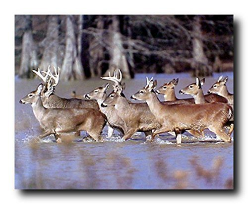 Amplify the look of your dull living room space by hanging this beautiful herd of whitetail deer crossing lake animal picture art print poster. This poster can be put on your drawing room wall to showcase how you plan to take over the challenges that life throws at you. This beautiful wall art will help to bring wildlife charm into your place and get you many compliments from your guests. It will make a great gift for every animal lover.