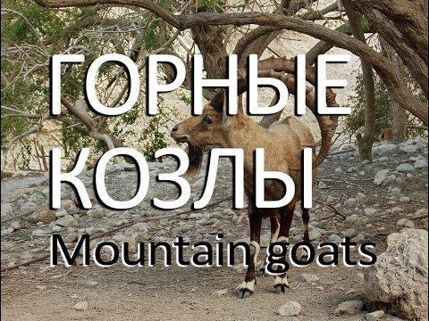 Горные козлы — Mountain goats