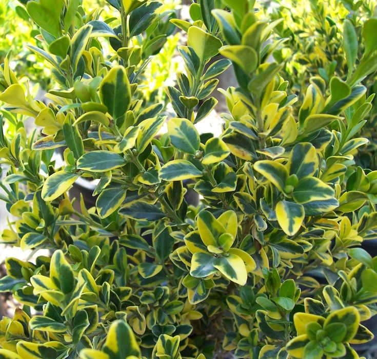 Golden Triumph Boxwood Heat Lover With High Contrast