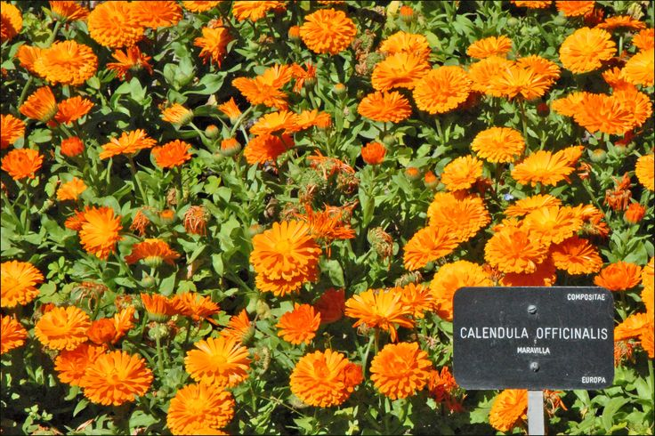 Sol, agua, tierra. Cocina de temporada saludable, cosmética natural, plantas medicinales y más...: Flora espontánea: calendula officinalis.