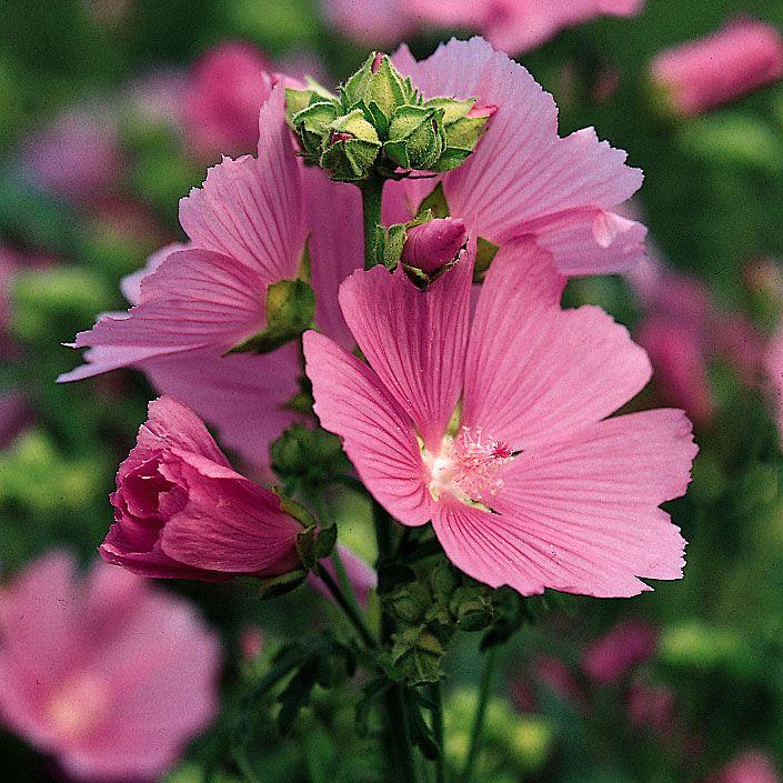 Gröngråluden växt med purpurrosa, trattformade blommor, upp till 8 cm stora. Ursprung...
