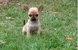 Magnifique chiot Chihuahua femelle à donner