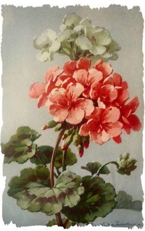 Geraniums - Catherine Klein - watercolour and gouache