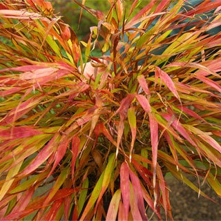 Hakonechloa macra 'Nicolas': Fall Colors, Macra Nicolas, Green Leaves, Macro Hakonechloa, Ornaments Grass, Shades Gardens, Forests Grass, Shades Perennials, Hakon Grass