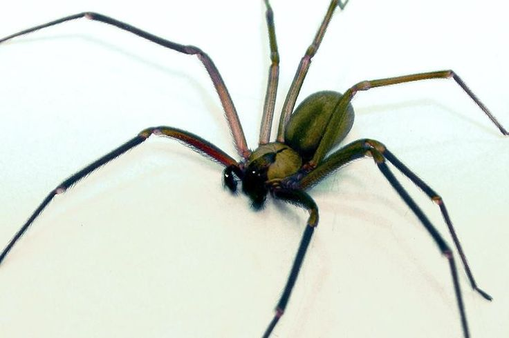 How to Tell if You've Been Bitten by a Brown Recluse Spider