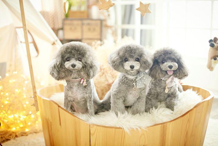 silver poodle haku, rose, lisia