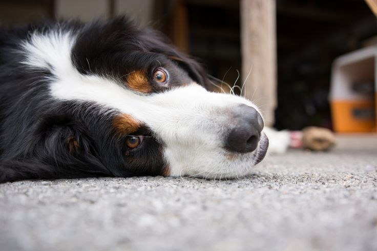 <p>If your dog has a mild stomach issue that does not appear to be life-threatening, you can treat it at home with some natural remedies; check with your veterinarian first if you are unsure.</p>