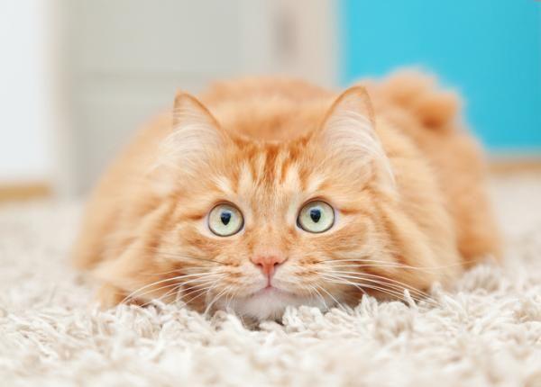 ¿No sabes qué hacer para cansar a tu gato? ¡En este artículo te ofrecemos juegos y recomendaciones que lo conseguirán! #ExpertoAnimal #MundoAnimal #ReinoAnimal #Animales #Naturaleza #Gatos #Felinos #Gatitos #Mascotas